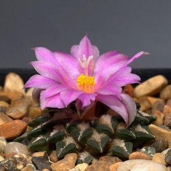Ariocarpus kotschoubeyanus [devinette] 600px-10