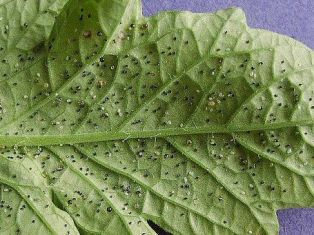 les aleurodes ou mouches blanches 800px-12
