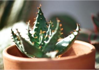 Aloe broomii Aloa11