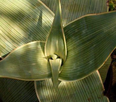 Aloe striata Aloe_s10