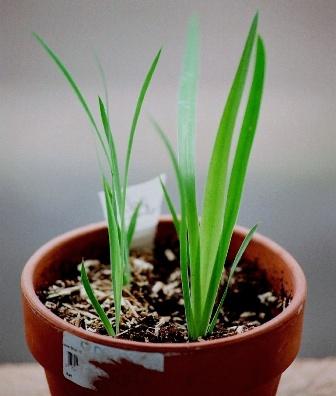 semis d'Iridaceae : Belamcanda chinensis Belamc10