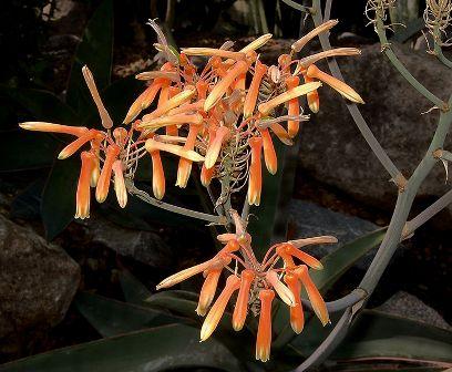 Aloe striata Dddddd10
