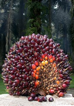 semis de palmiers Fruit_10