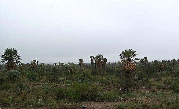 Trithrinax campestris  Pampa_10