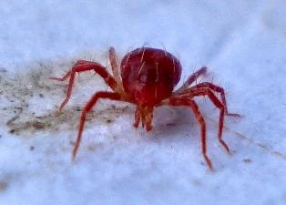 acariens - araignées rouges ou tétranyque tisserand Phytos10