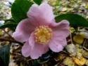 Camellia - choix & conseils de culture Camel110