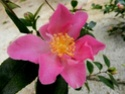 Camellia - choix & conseils de culture Camell10