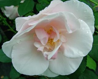 Invitation de Notre-Dame* Roses_11