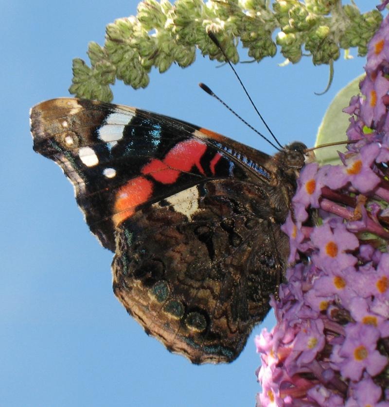 Un joli papillon pour ma plus belle des photos ! :D Vulcai10