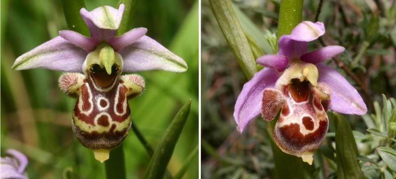 Ophrys vetula Scolop17