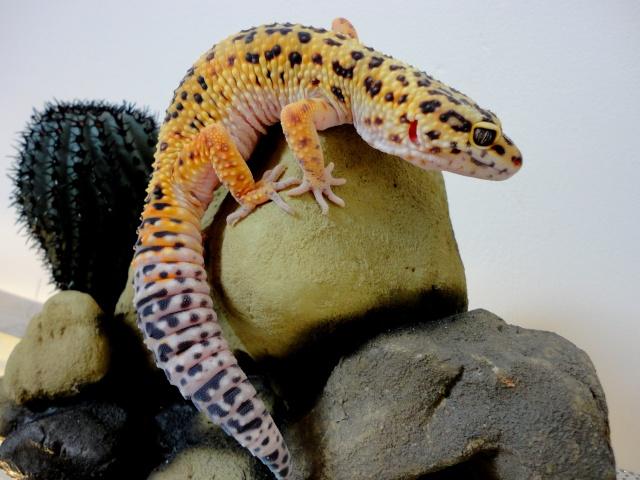 combient d'heures je doit laisse la lumiére au gecko Dsc02122