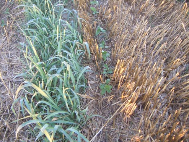 dérobé tournesol et soja sud Toulouse Dscf8927