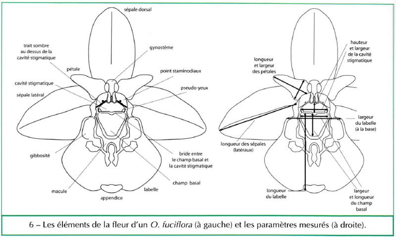 Recherche information dimension fleur d'Ophrys Dim_op10