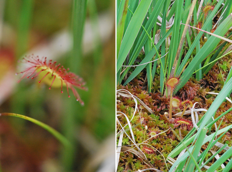 Dactylorhiza des portes de Bretagne (35), 18 juin 2012 Droser10