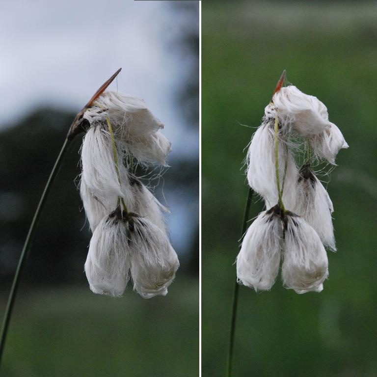 Dactylorhiza des portes de Bretagne (35), 18 juin 2012 Linaig10