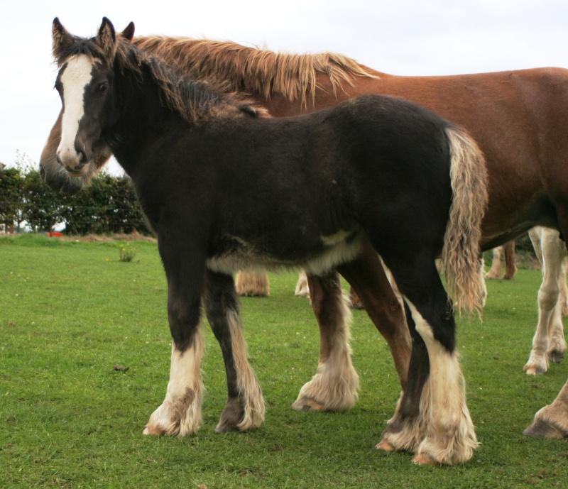 11 - 59 IC... Brownie, 8eme pouliche de l'annee a Cairnview Foals211