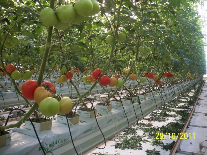 Topraksız tarım seraları resimleri 100_3711