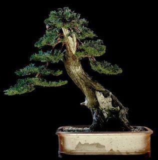 Furto bonsai di cipresso 20121210