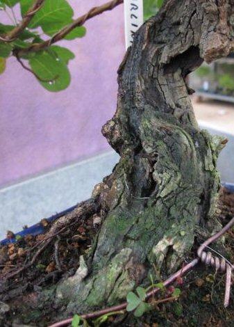 """Come proteggere il """"secco"""" dei nostri bonsai 5cotin11"""