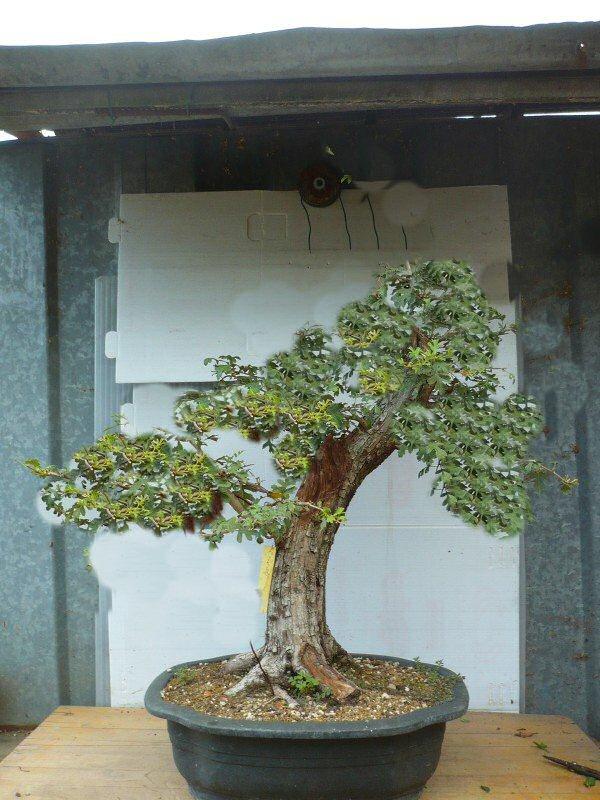Un biancospino che diventa bonsai...... - Pagina 3 Bianco10