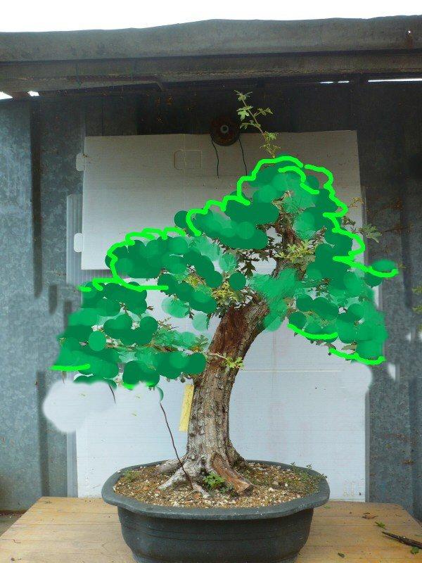Un biancospino che diventa bonsai...... - Pagina 3 Bianco11