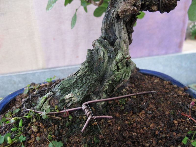 """Come proteggere il """"secco"""" dei nostri bonsai Cotinu12"""