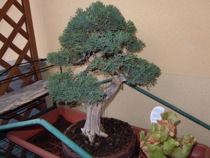 juniperus chinensis crescono - Pagina 2 Dscn1010