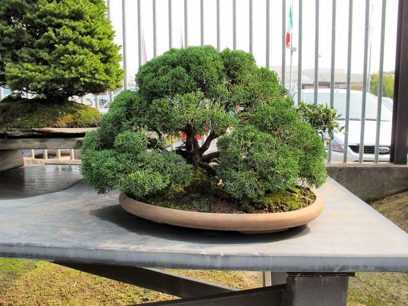 50° anniversario Crespi Bonsai Foto1011