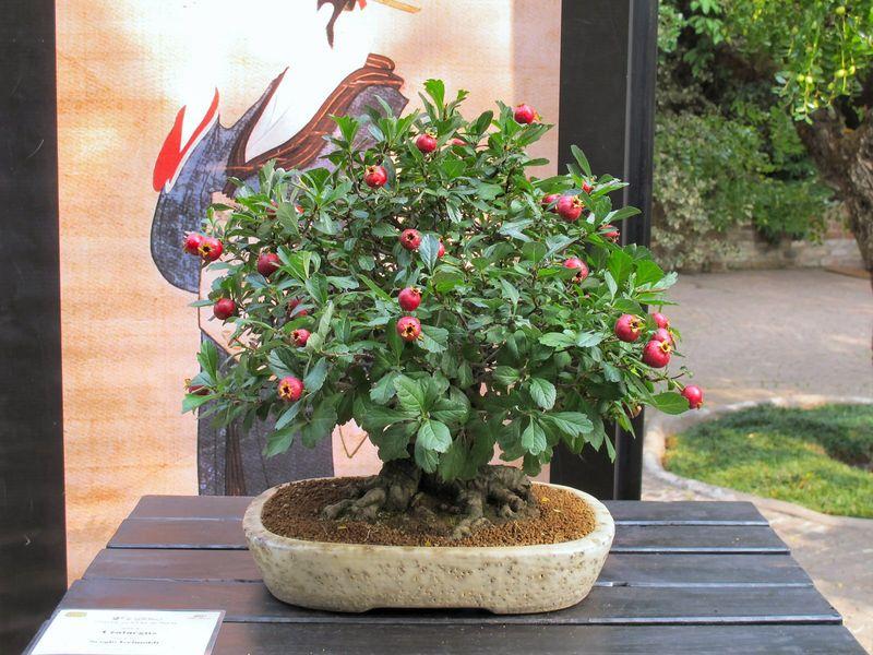 50° anniversario Crespi Bonsai Foto1510