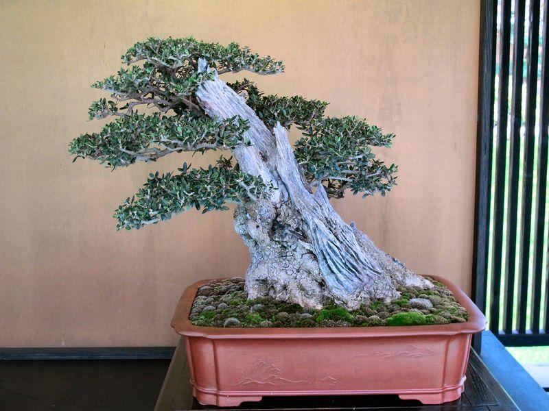 50° anniversario Crespi Bonsai Foto2410