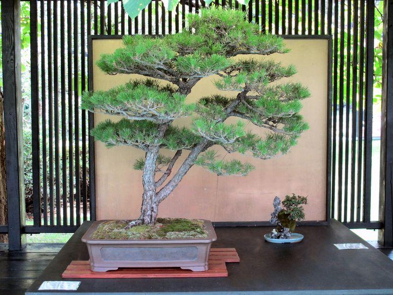 50° anniversario Crespi Bonsai Foto2610