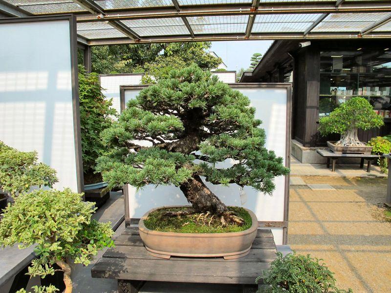 50° anniversario Crespi Bonsai Foto2710
