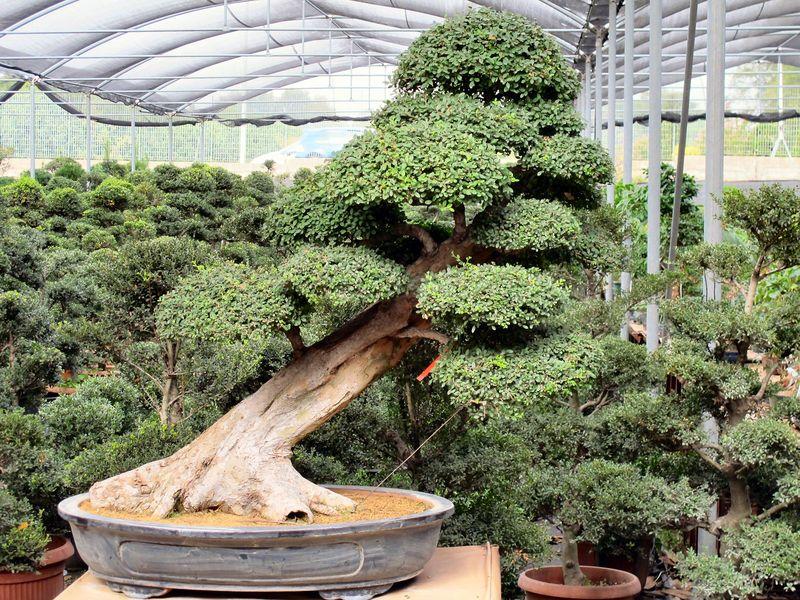 50° anniversario Crespi Bonsai Foto3610