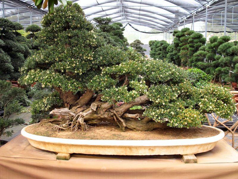 50° anniversario Crespi Bonsai Foto3810