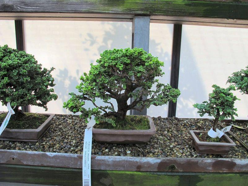 50° anniversario Crespi Bonsai Foto411
