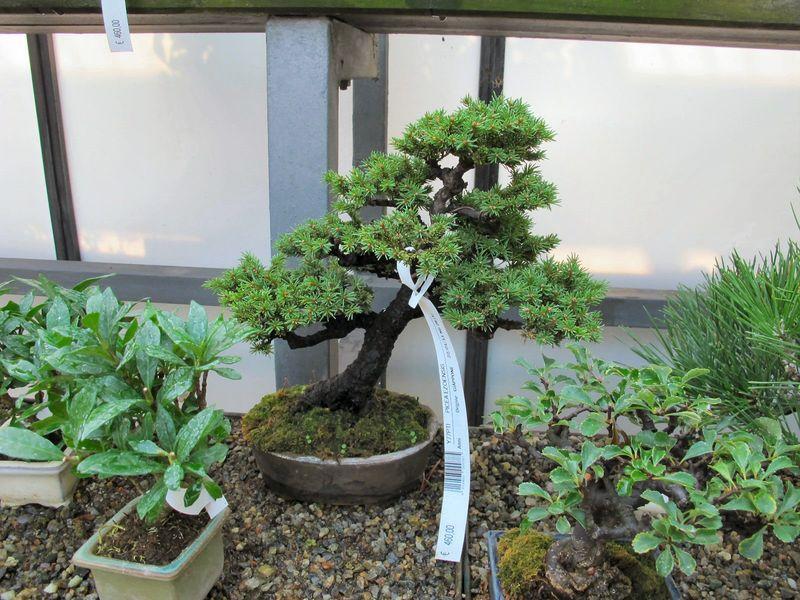 50° anniversario Crespi Bonsai Foto511