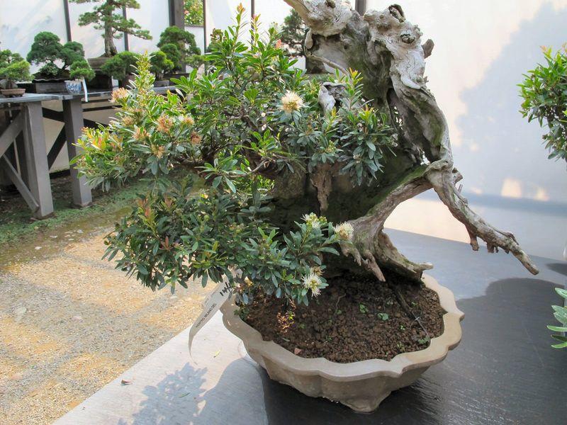50° anniversario Crespi Bonsai Foto611