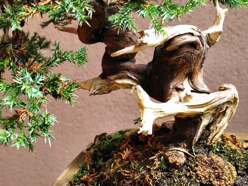 """Come proteggere il """"secco"""" dei nostri bonsai Ginefo16"""
