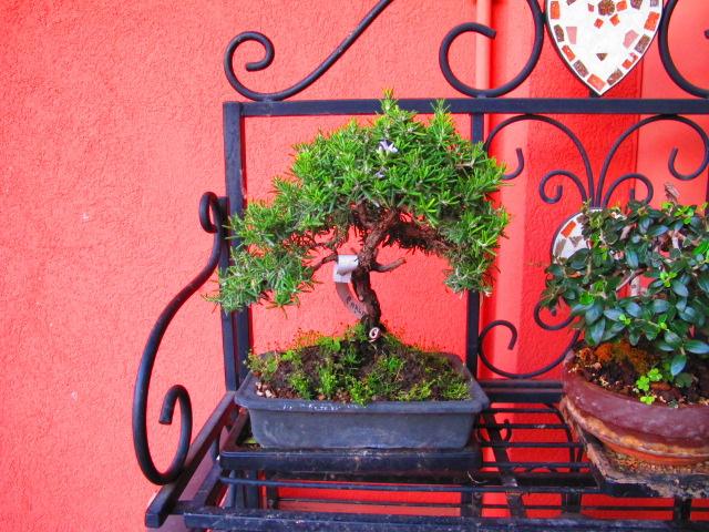 Bonsai con pochi euro... Img_2610