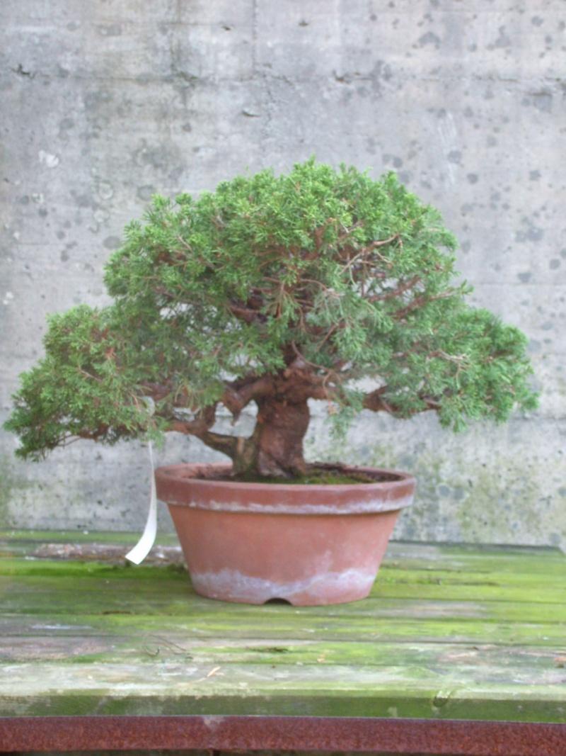 Furto Bonsai al Centro Crespi di Parabiago Junipe11