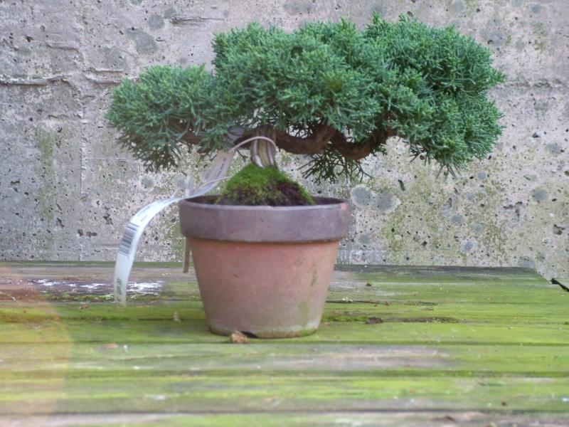 Furto Bonsai al Centro Crespi di Parabiago Junipe12