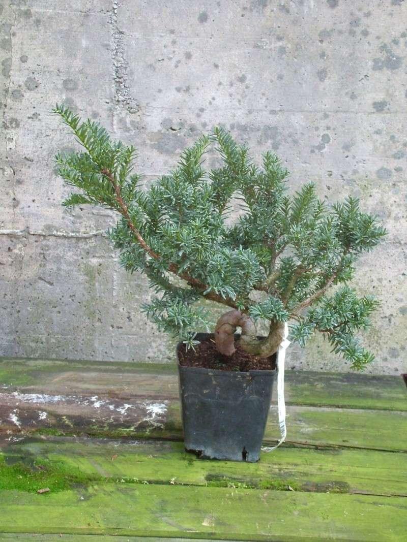 Furto Bonsai al Centro Crespi di Parabiago Taxus_10