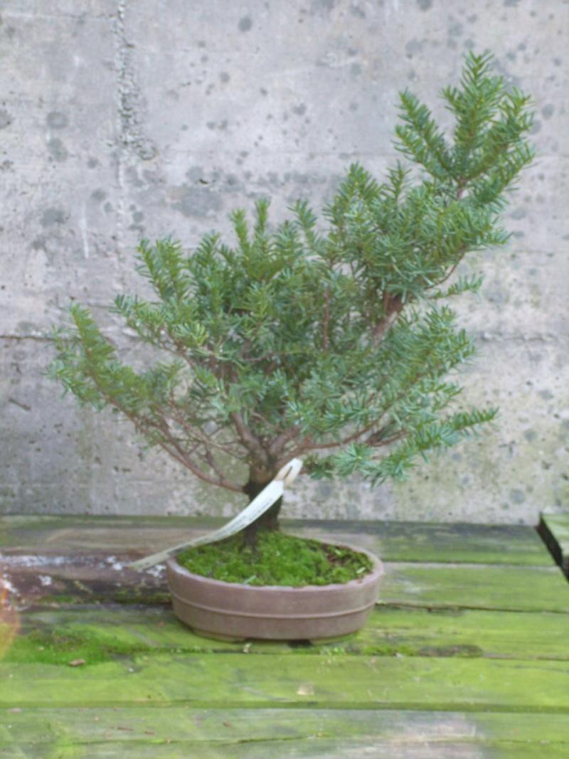 Furto Bonsai al Centro Crespi di Parabiago Taxusc10