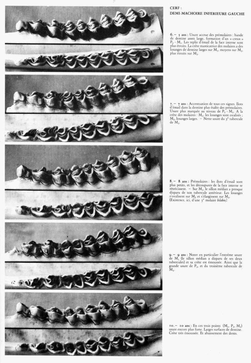 Dentition des cervidés. File0516