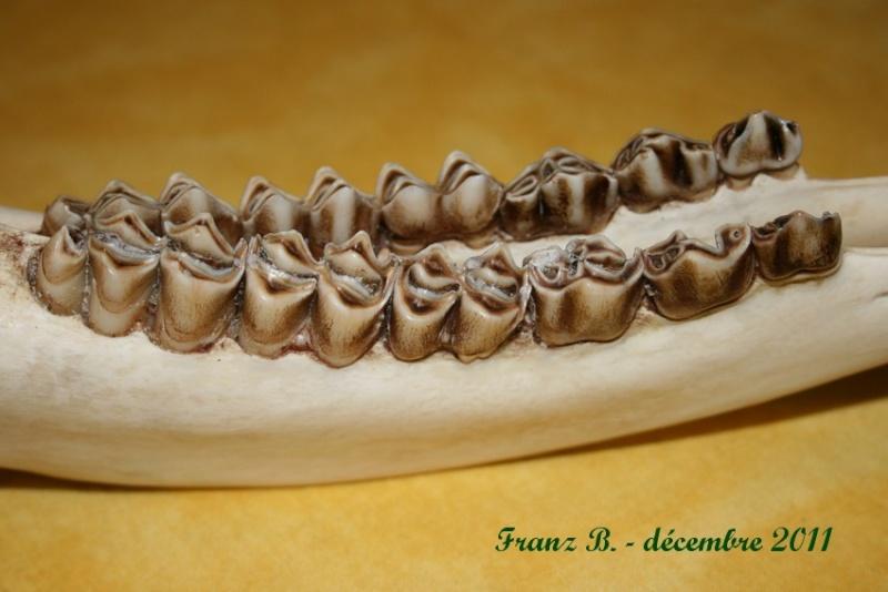 Dentition des cervidés. Img_6018