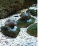 boutures caulastrea Boutur16