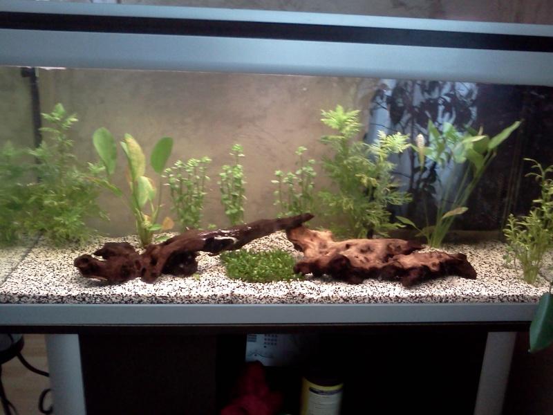 mes  aquariums de 100 et 200 litres Img30210