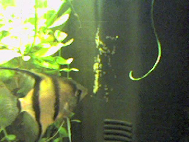 mes  aquariums de 100 et 200 litres Photo-10