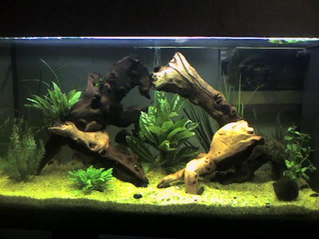 mes  aquariums de 100 et 200 litres Photo-11