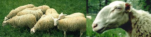 Répertoire des races ovines du Monde Bandea10